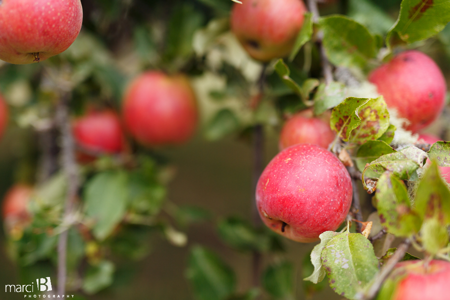 Picking apples - Corvallis Photography