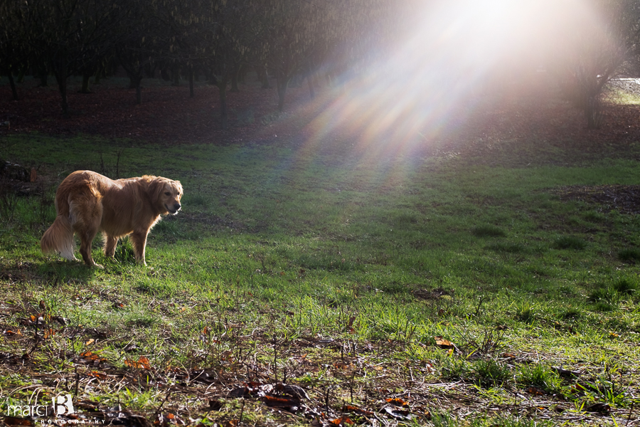 golden retriever in winter sun - golden glow - family dog